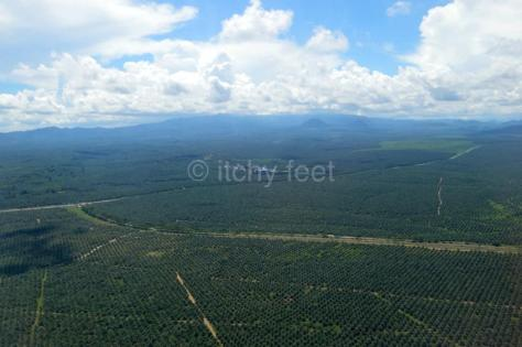 Oil palm 01