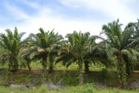 Oil palm 08
