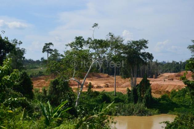 Oil palm 09