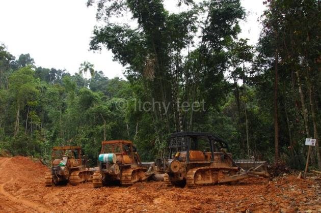 Oil palm 11