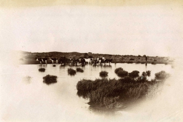 04 Cattle drinking at A'beam Pool, Kalahari.